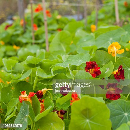 Nasturtium flowering plants in the vegetable and fruit garden growing together with polinating plants scarlet variety . Keeping balance in nature. Permaculture food forest design. : Stock Photo