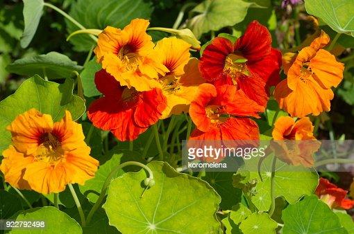 Nasturtium flowers blooms on the flowerbed : Stock Photo