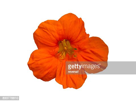 Nasturtium (Tropaeolum) Garden Flower Isolated : Stock Photo