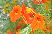 Nasturtium in garden