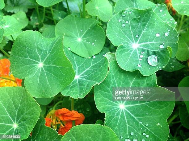 Nasturtium leaves with water droplets