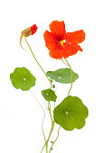 Nasturtium (Tropaeolum majus) open and closed flower with leaves isolated on white background