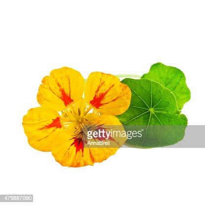 Nasturtium or Tropaeolum Flower : Stock Photo