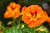 nasturtium or tropaeolum edible flower closeup