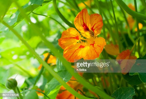 Nasturtium orange and yellow flower with leaves illuminated by sunlight : Stock Photo