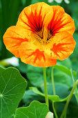 A bright orange and yellow Nasturtium flower in closeup