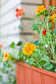 Nasturtium in Flower Pot
