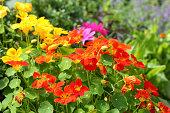Nasturtium orange and red in the vegetable garden (Tropaeolum - Kapuzinerkresse). Die Grosse Kapuzinerkresse ist die Heilpflanze des Jahres 2013