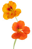 Studio Shot of Yellow and Orange Colored Nasturtium Flowers Isolated on White Background. Large Depth of Field (DOF). Macro. Symbol of Patriotism and Conquest.
