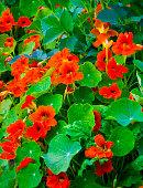 Nasturtiums orange colors, growing in pot