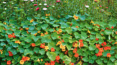 Background of a flowering nasturtium with bright green foliage