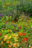 Nasturtium  - edible flowers