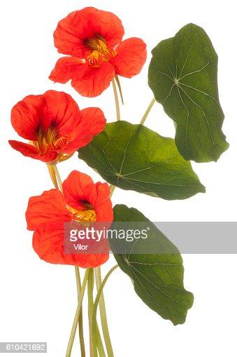 nasturtium : Stock Photo