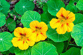 Nasturtium, also known as Tropaeolum, or Indian Cress. (Science name Tropaeolum majus L.). Native to South and Central America, includes several very popular garden plants. Plants in this genus have s