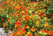 Bushes blooming yellow-orange nasturtium