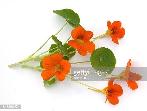 Nasturtium; Tropaeolum majus : Stock Photo