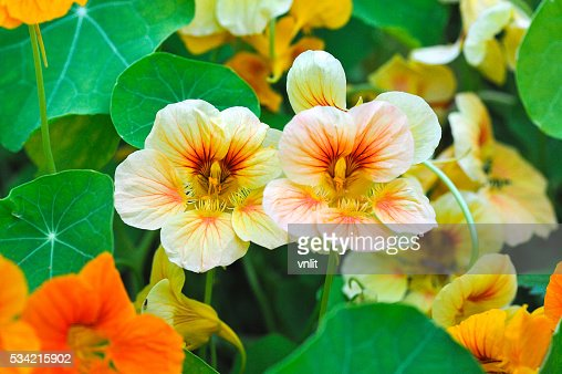 nastutium in garden : Stock Photo