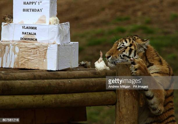 Natalia a oneyearold Amur tiger shows her interest in a first birthday treat Amur tigers Vladimir Natalia and Domininca celebrated their first...