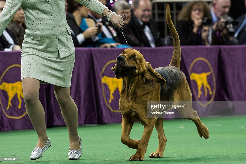 Nathan a Bloodhound competes in the Best in Show category in the Westminster Dog Show on February 11 2014 in New York City The Best in Show award...
