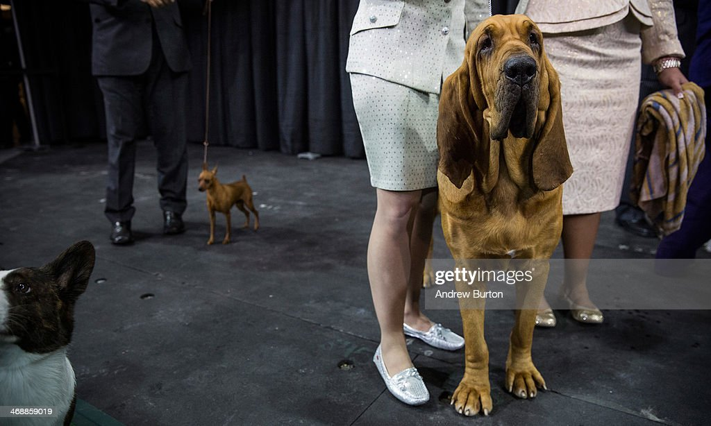 Nathan a bloodhound waits to compete in the Best in Show category in the Westminster Dog Show on February 11 2014 in New York City The Best in Show...
