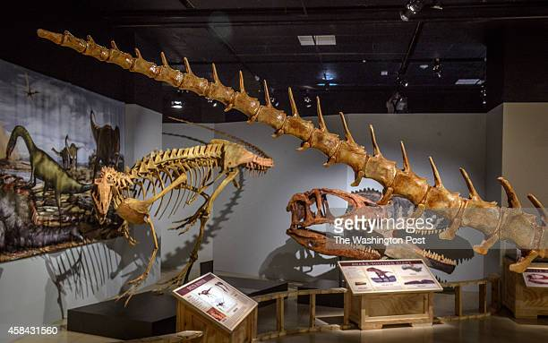 National Geographic is unveiling the Spinosaurus exhibit on Friday on September 2014 in Washington DC Pictured the end of the tail foreground along...