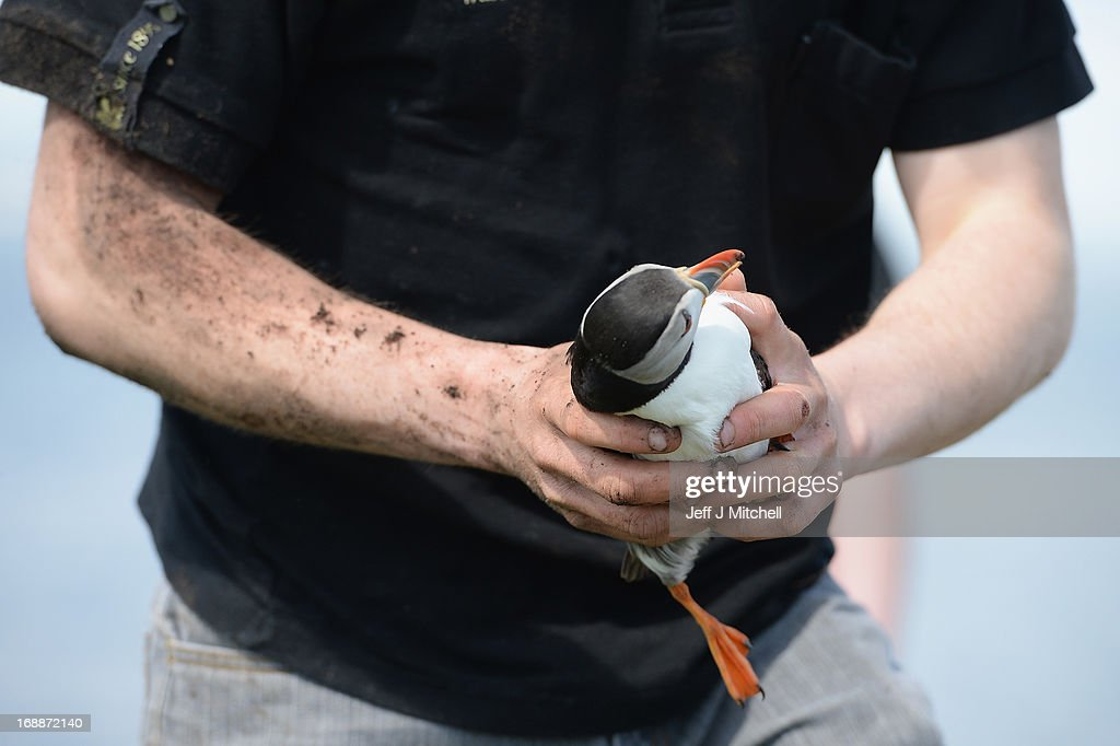 National Trust ranger Will Scott holds a Puffin during a census on the Farne Islands on May 16 2013 in Farne England A census is carried out every...