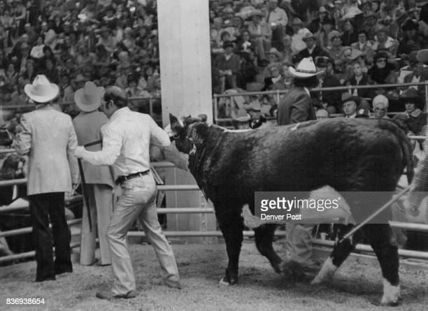 National Western Stock Show MSU Miss Magnum 760 old Grand ***** of '79 plan sold 1/2 interest for $50000 to Dr Willard Keith Springville Ky Credit...