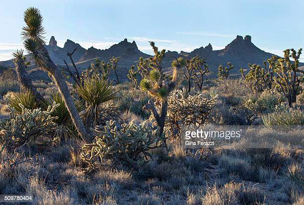 Native grasslands mingle with Joshua trees in the Mojave Desert landscape which President Obama has just designated as a National Monument about 10...