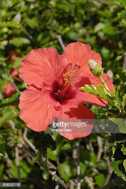 Native hawaiian Hibicus flowers 15 Jan 2013