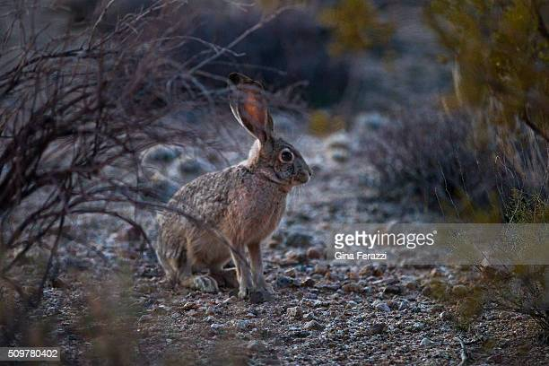A native Jack Rabbit pauses in the Mojave Desert landscape which President Obama has just designated as a National Monument about 10 miles north of...