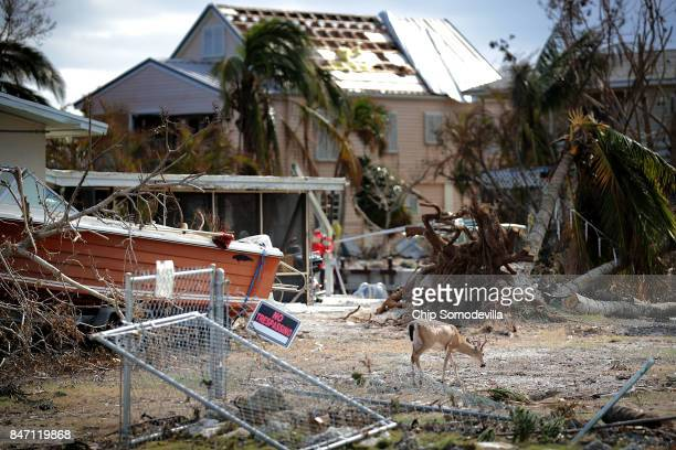 A native key deer looks for food among the ruins left by Hurricane Irma in the Port Pine Heights neighborhood September 14 2017 on Big Pine Key...