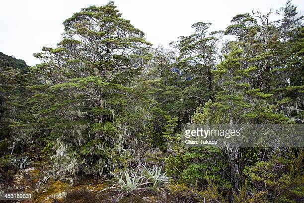 Native New Zealand Beech Forest.