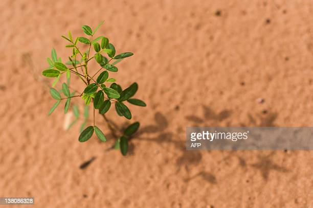 A native plant sprouts from the soil of the Cerrada plains in Chapada dos Guimaraes Mato Grosso state western Brazil on January 30 2011The Pantanal...