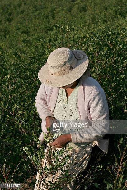 A native woman farmer harvests coca leaves in the legal and traditional region of coca plantations 60 miles from the capital city of La Paz Bolivia...