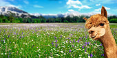 Summer landscape with alpaca on fresh green pastures with flowers and mountains in the background