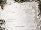 White wood texture close-up, birch trunk texture, birch bark natural texture background