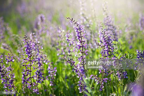 natural flower meadow with blooming salvia pratensis