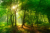 sunlight breaking through foliage and fog creating a mystical atmosphere