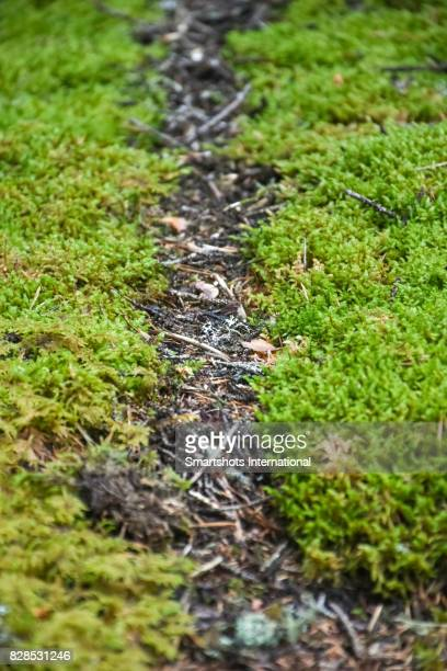 Natural highway made by ants to cross through the natural moss of the Dolomites