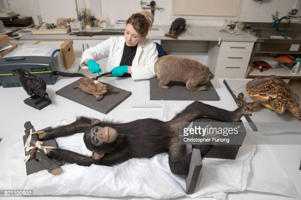 Natural History Conservator Lucie Mascord of Lancashire Conservation Studios poses as she works on a stuffed chimpanzee which is over 100 years old...