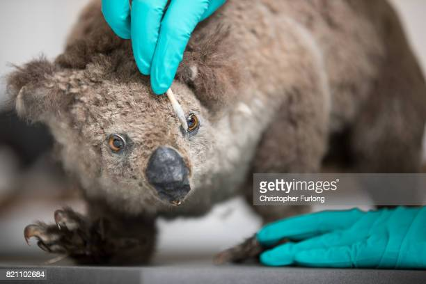 Natural History Conservator Lucie Mascord of Lancashire Conservation Studios poses as she works on a stuffed koala as part of a the major...