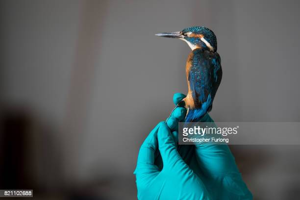 Natural History Conservator Lucie Mascord of Lancashire Conservation Studios poses as she works on a stuffed kingfisher as part of a the major...