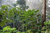 The Papaya tree (Carica papaya). Natural Jungle background. Tropical rain forest in the morning mist