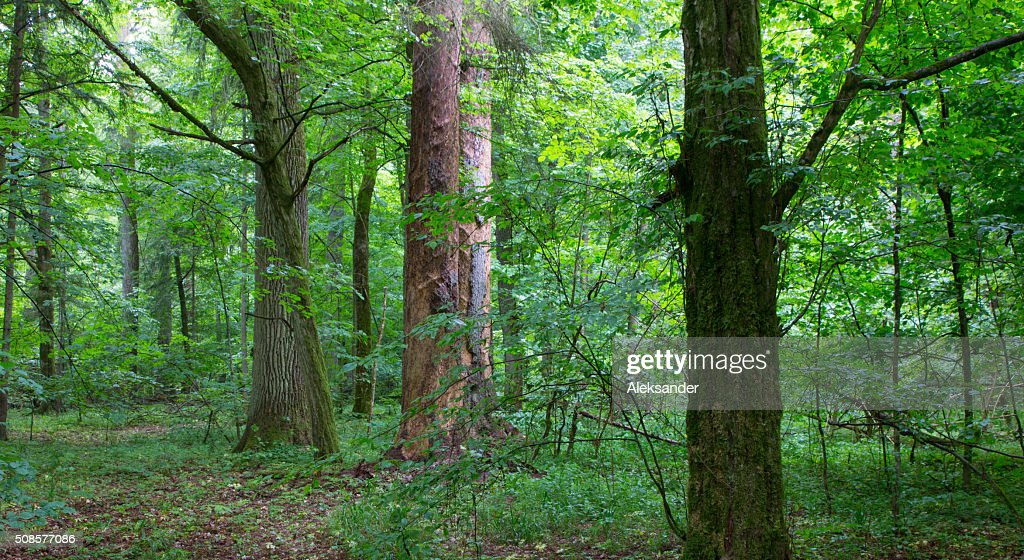 Natural mixed stand of Bialowieza Forest : Stock Photo