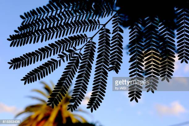 Natural pattern, the symmetrical leaves of Delonix regia