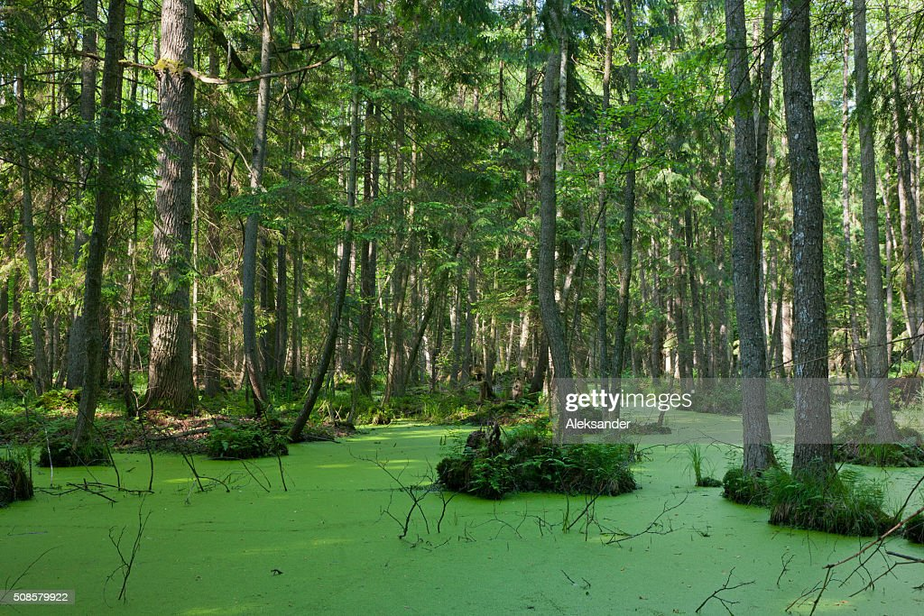 Natural stand of Bialowieza Forest with standing water and Duckweed : Stock Photo
