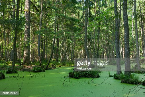 Natural stand of Bialowieza Forest with standing water and Duckweed : Stockfoto