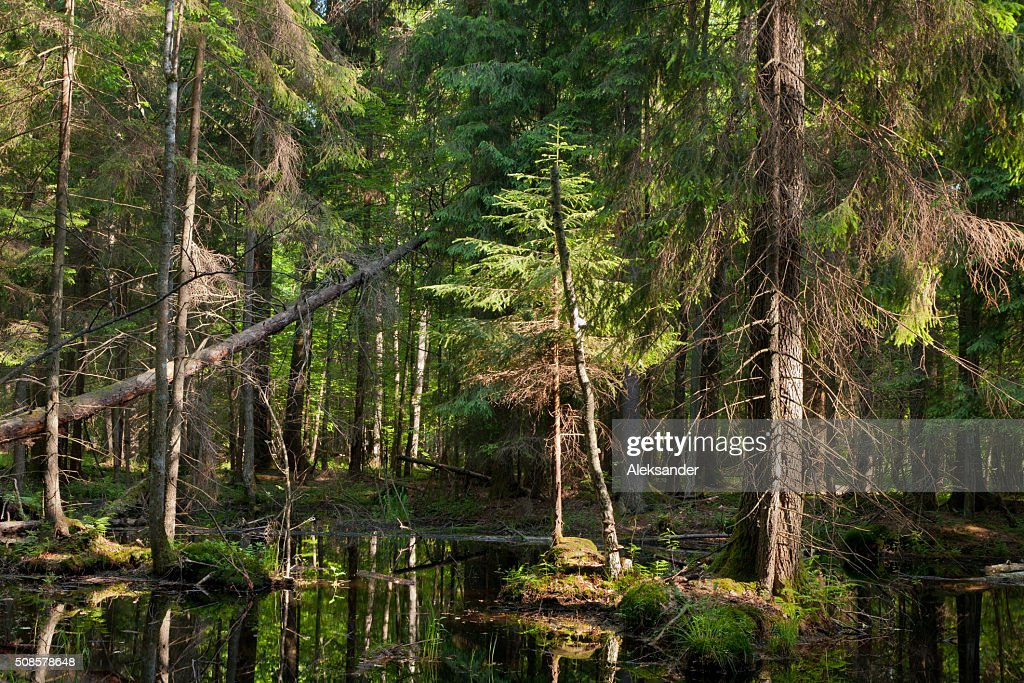 Natural stand of Bialowieza Forest with standing water : Stockfoto