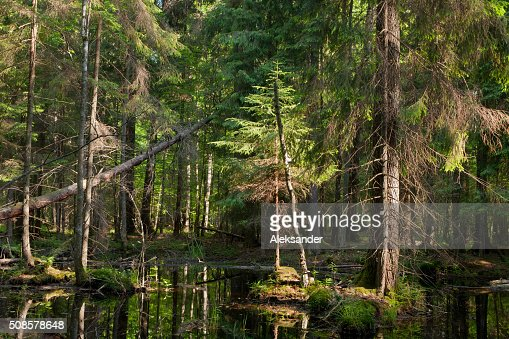 Natural stand of Bialowieza Forest with standing water : Stock Photo