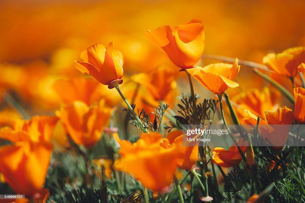 A naturalised crop of the vivid orange flowers, the California poppy, Eschscholzia californica, flowering, in the Antelope Valley California poppy reserve. Papaveraceae.